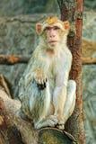 małpi smutny obsiadanie Zdjęcia Stock