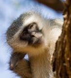 małpi vervet Obrazy Royalty Free