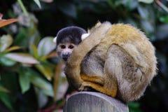 małpi wiewiórczy czekanie Obrazy Stock