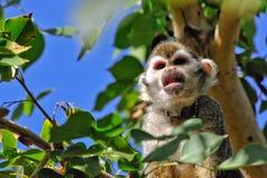 małpi wiewiórczy drzewo Fotografia Stock