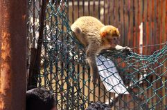 Małpi wylotowy akt 2 obrazy stock