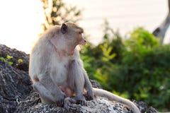 Małpi ziewanie Obrazy Royalty Free