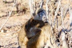 Małpia Chacma pawianu rodzina, Afryka safari przyroda, i pustkowie Obrazy Royalty Free