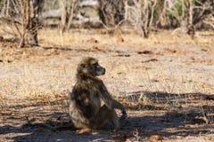 Małpia Chacma pawianu rodzina, Afryka safari przyroda, i pustkowie Fotografia Stock