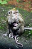 Małpia matka i dziecko w Indonezja Zdjęcia Royalty Free