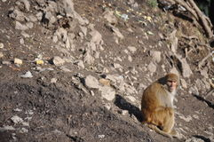 Małpia poza Obrazy Stock