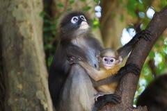 Małpia rodzina Zdjęcia Stock