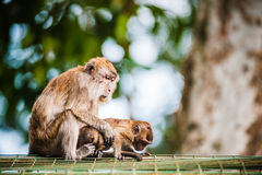Małpia rodzina Zdjęcia Royalty Free