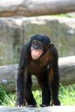 małpia stanowisko Obraz Royalty Free