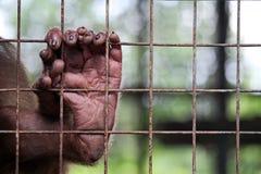 Małpia stopa za barami w zoo Obrazy Royalty Free