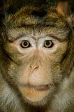 Małpia twarz Obrazy Stock