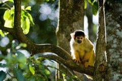 małpia wiewiórka Obrazy Royalty Free