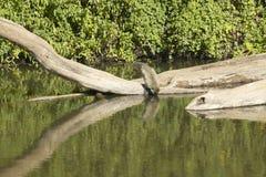 Małpia woda pitna w Nairobia parku narodowym, Nairobia, Kenja, Afryka Fotografia Stock