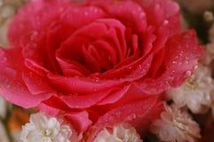 ma piekne róże Zdjęcie Stock