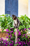 Małpuje (Rhesus makaków) obsiadanie na bambusowej poczta obraz royalty free