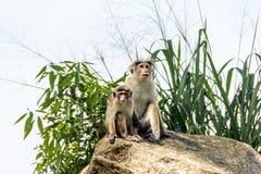 Małpy Fotografia Stock