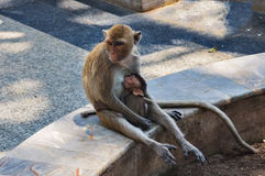 Małpy Zdjęcie Stock