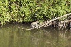 Małpy above - woda w Nairobia parku narodowym, Nairobia, Kenja, Afryka Zdjęcie Stock