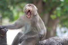 Małpy poziewanie Zdjęcia Stock