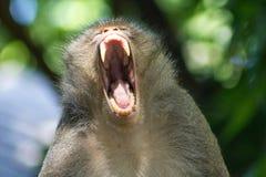 Małpy poziewanie Fotografia Stock