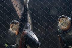 Małpy siedzi w klatce Tajlandia obywatela zoo fotografia royalty free