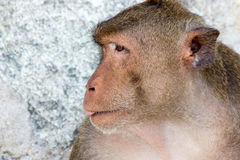 Małpy twarz Obrazy Stock