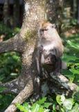 Małpy w namorzynowym lesie Zdjęcia Royalty Free