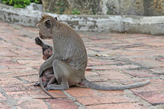 Małpy w naturze zdjęcia royalty free
