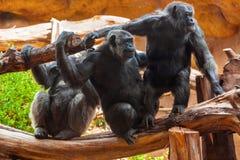 Małpy w parku przy Tenerife kanarkiem Obraz Royalty Free