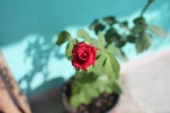 mała rose Zdjęcia Stock