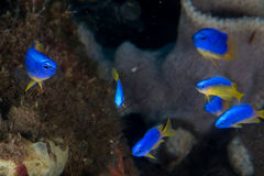 Mała ryba na korala domu dla ryba nurkuje Indonesia Obrazy Stock