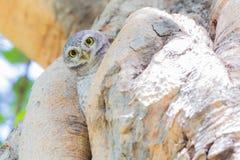 Mała sowa na warkocz dziurze Fotografia Royalty Free