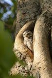 Mała sowa w drzewnego fiszorka dziurze Zdjęcie Royalty Free