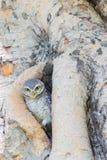 Mała sowa w drzewnej dziurze Obraz Stock