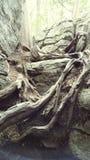 ma swoje korzenie drzewa Fotografia Royalty Free