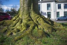 ma swoje korzenie drzewa obraz royalty free