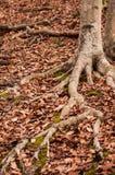 ma swoje korzenie drzewa Obrazy Stock