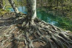 ma swoje korzenie drzewa Zdjęcie Royalty Free