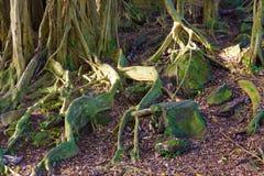 ma swoje korzenie drzewa Zdjęcia Royalty Free