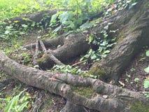 ma swoje korzenie drzewa Obrazy Royalty Free