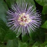 Ma vigne de fleur de passion montre la passion photos stock