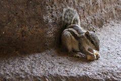 mała wiewiórka Obraz Royalty Free