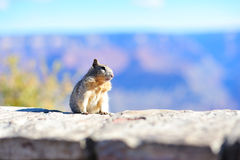 mała wiewiórka Zdjęcie Royalty Free