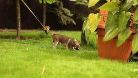 Ma?y ?aciasty pies chodzi wzd?u? przygotowywaj?cego gazonu, psa spacery wzd?u? trawy zbiory wideo