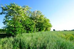 Mały akacjowy las Zdjęcia Stock