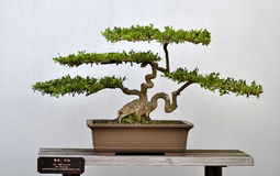 mały bonsai boxwood Obraz Stock
