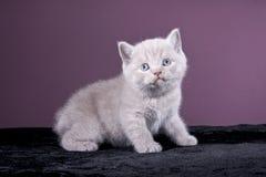 Mały Brytyjski figlarki obsiadanie na czarnej tkaninie Fotografia Royalty Free