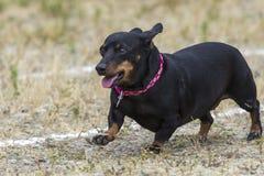 Mały czarny winer pies w rasie Obrazy Stock