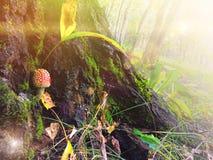 Mały czerwieni pieczarki amanita muscria w lesie Fotografia Royalty Free