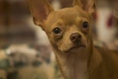 Mały czerwony chihuahua patrzeje z ukosa Obrazy Royalty Free